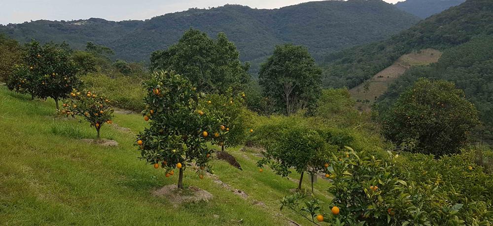 Pomares e Frutas Nativas do Condomínio Blumen Haus / Nova Petrópolis / Serra Gaúcha