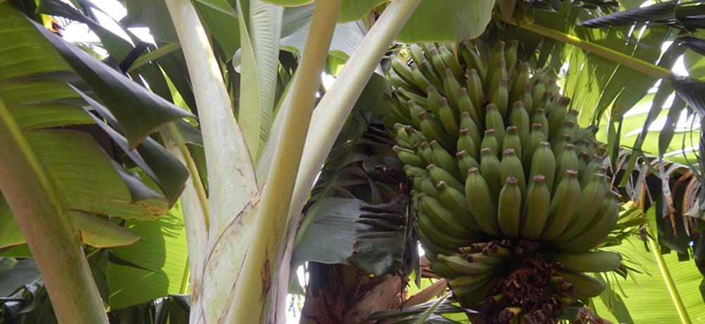 Bananal e Canavial do Condomínio Blumen Haus em Nova Petrópolis / Serra Gaúcha
